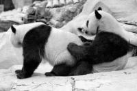 Pandas a coisar